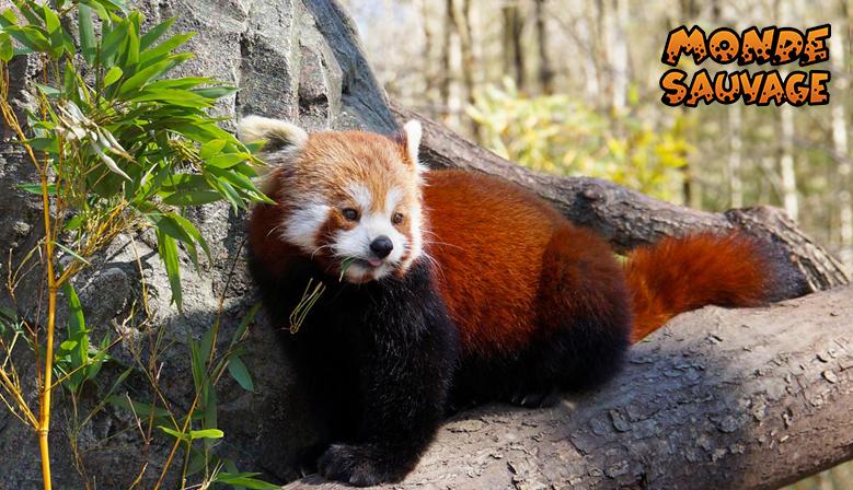 Onze rood panda's