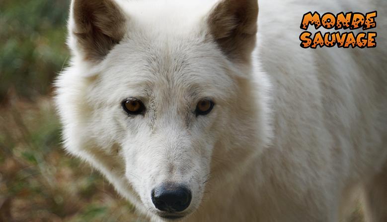 Nos loups blancs